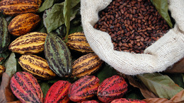 Cacoa_pods_and_beans_onecolumn