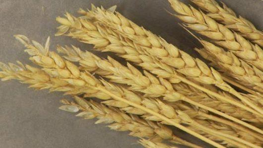 Wheat & Gluten